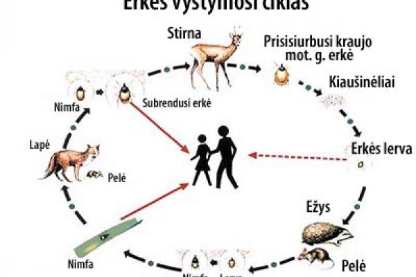 0003_erkes-20vystymosi-20ciklas_1593069713-e4a4b6a3cce400a026fa2a79665dfe70.jpg